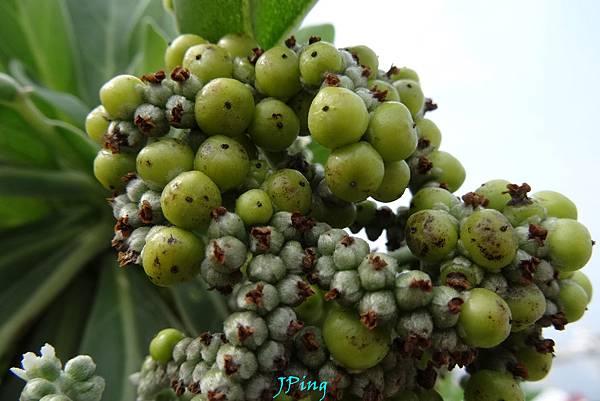 白水木 (5)