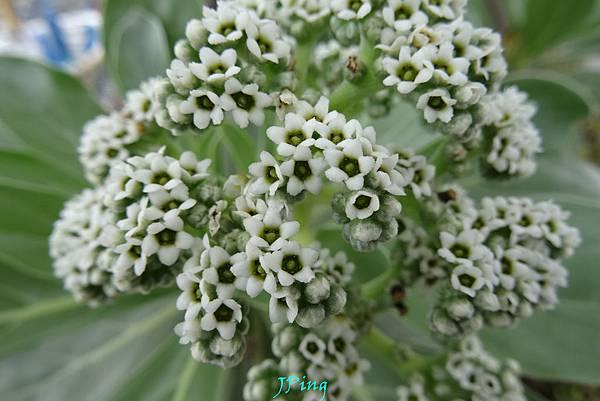 白水木 (1)
