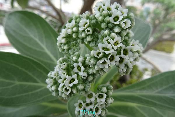 白水木 (10)