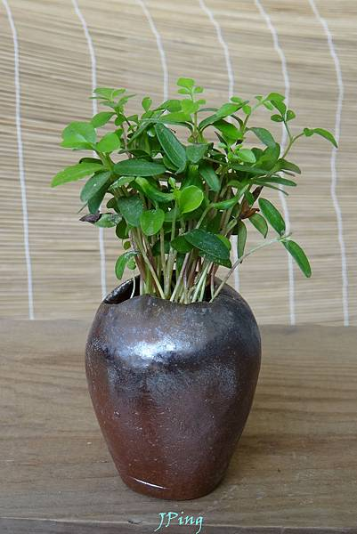適合水耕種子盆栽的柴燒盆