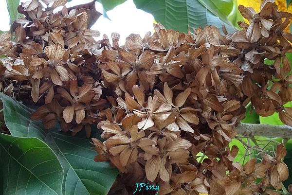 六翅木種子盆栽