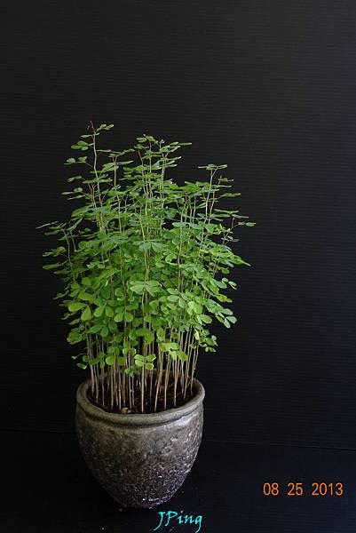 墨水樹 (10)