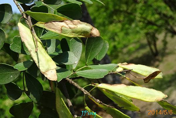 墨水樹 (12)