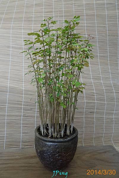 墨水樹種子盆栽