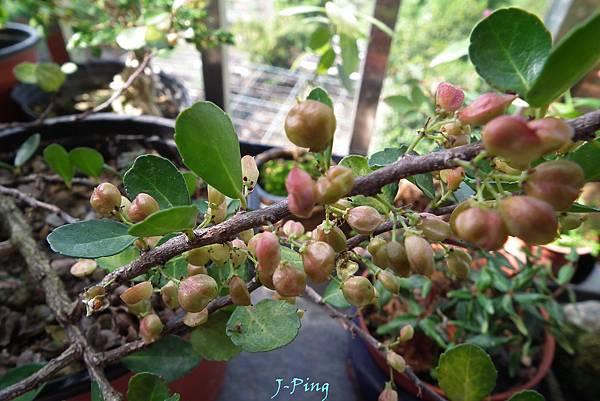 牛港刺種子盆栽