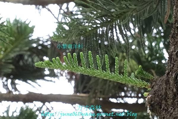 小葉南洋杉 (3)