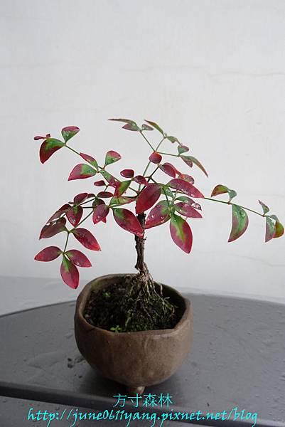 南天竹種子盆栽 (5)