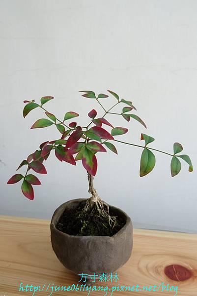 南天竹種子盆栽 (2)