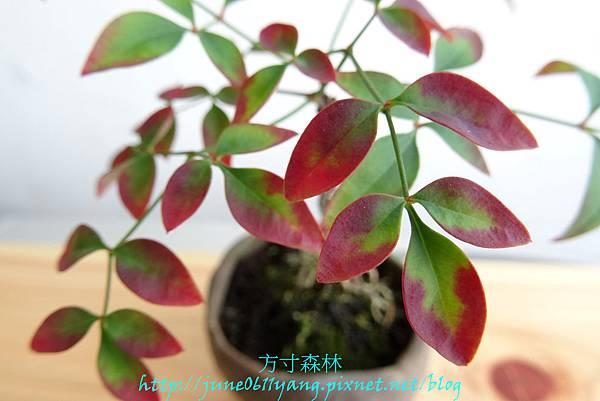南天竹種子盆栽 (4)