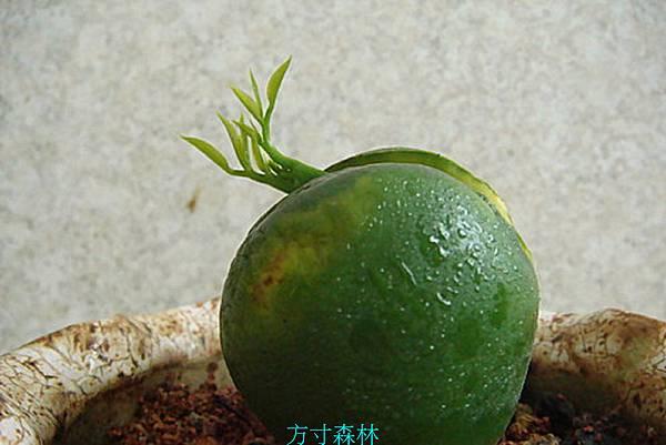 栗豆樹 (2).jpg