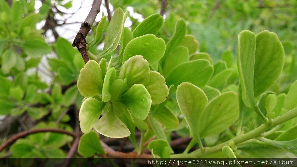 欖李種子盆栽 (5).JPG