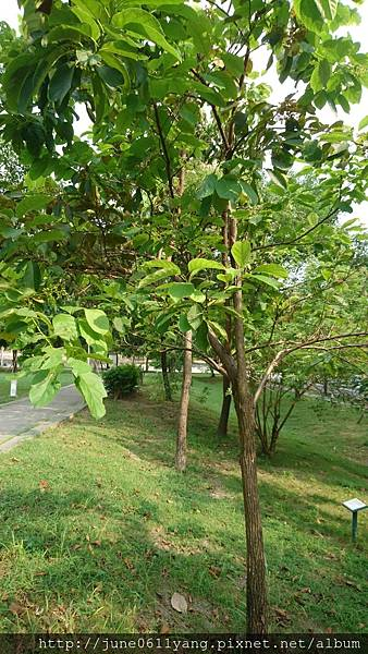 恆春厚殼樹 (46).jpg