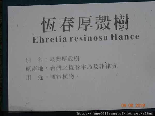 恆春厚殼樹 (55).JPG