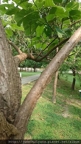 恆春厚殼樹 (41).jpg