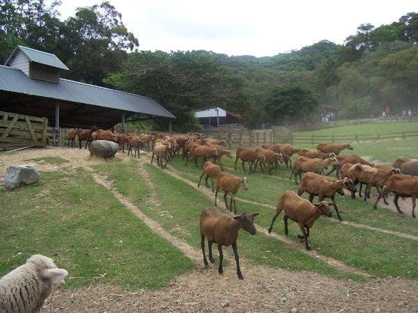衝刺的羊群