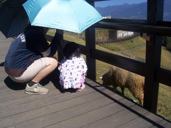 看到綿羊了.JPG