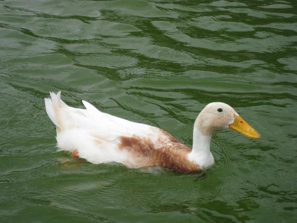 白天鵝.JPG