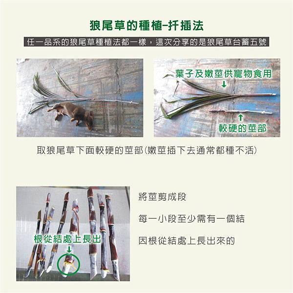 天竺鼠的飼養-狼尾草種植2