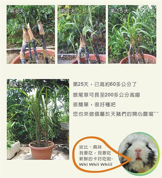 天竺鼠的飼養-狼尾草種植4