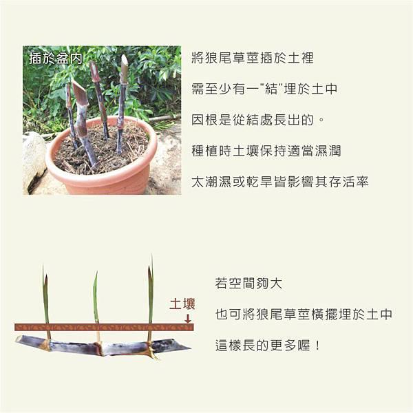 天竺鼠的飼養-狼尾草種植3
