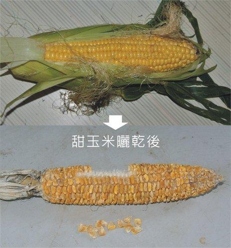 玉米葉-1