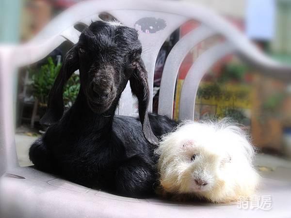 羊咩咩-7