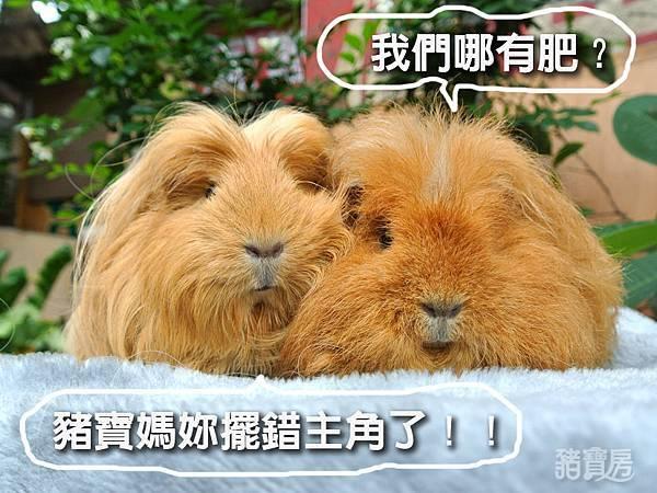 肥肥雙豬-4