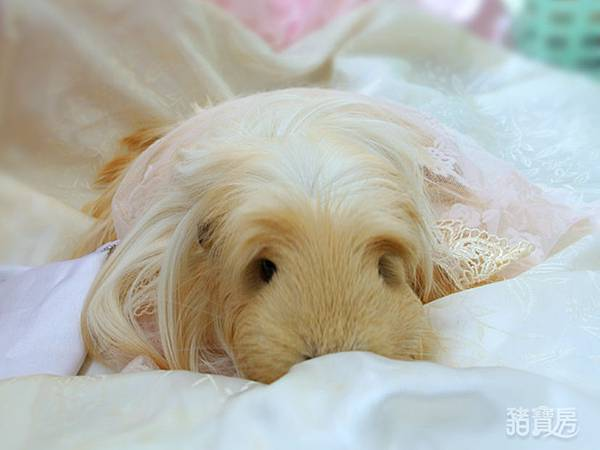 睡美豬-3