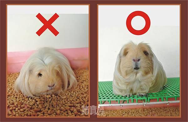 天竺鼠的飼養-木削沙1