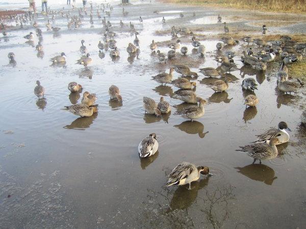天鵝湖的鴨子