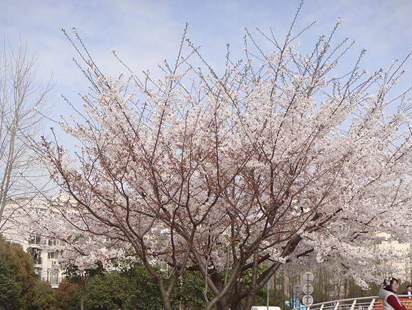 櫻花,粉紅色~