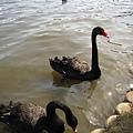 黑天鵝...應該是小時候看童話故事的影響吧,總覺得黑天鵝是壞鵝!