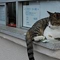 江之島內 到處是肥貓