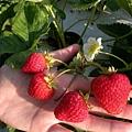 草莓園採果趣