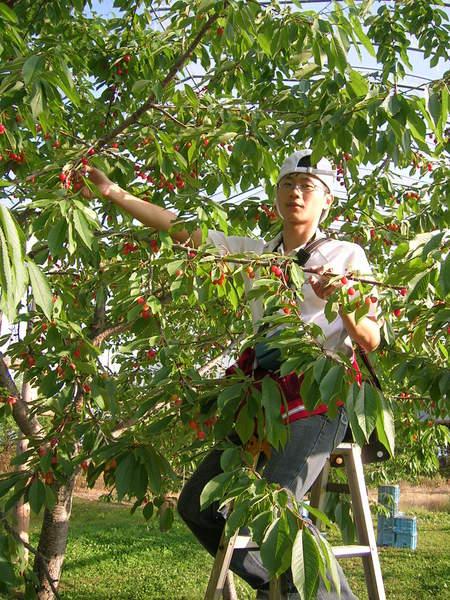 老闆贈送採櫻桃