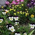 盛開的小花