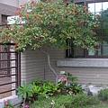 樹型優美的醉嬌花