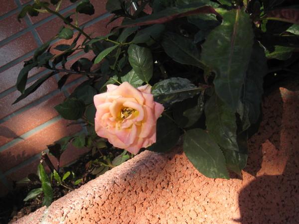 這朵玫瑰的顏色很特別~