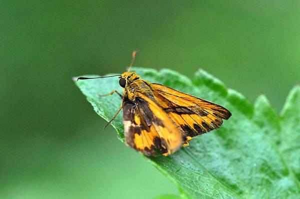台灣黃斑弄蝶 (5)