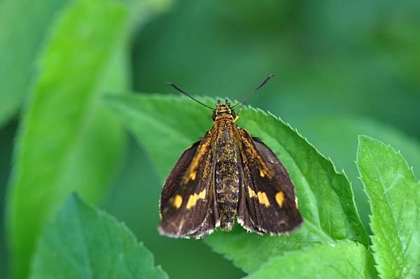 台灣黃斑弄蝶