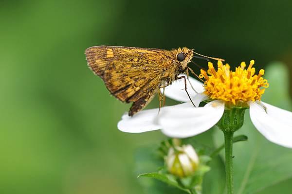 台灣黃斑弄蝶 (2)