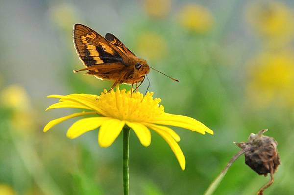 台灣黃斑弄蝶 (8)