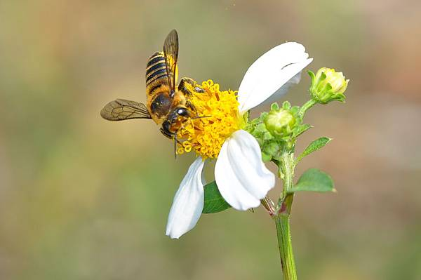 切葉蜂10