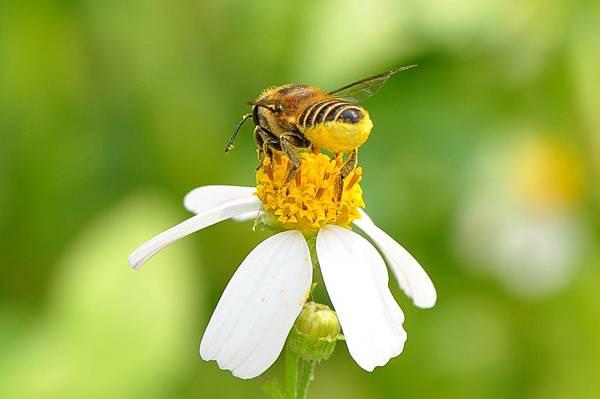 切葉蜂11