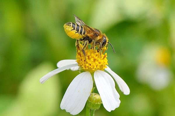 切葉蜂12
