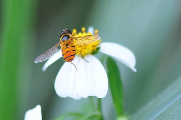 食蚜蠅 (4).jpg