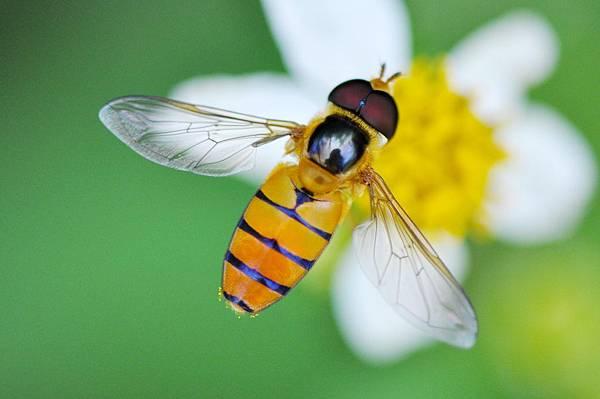 食蚜蠅 (16).jpg