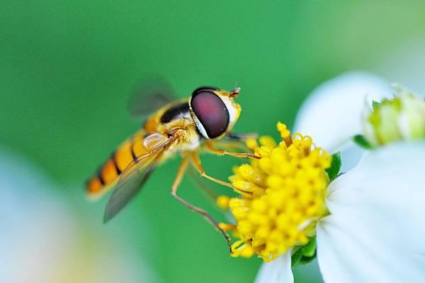 食蚜蠅 (18).jpg