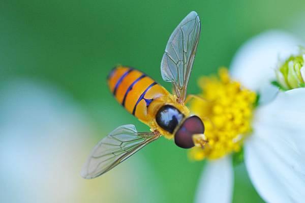 食蚜蠅 (19).jpg