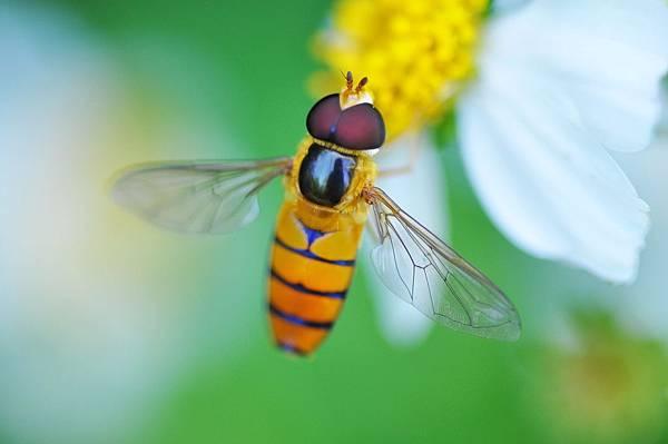 食蚜蠅 (20).jpg